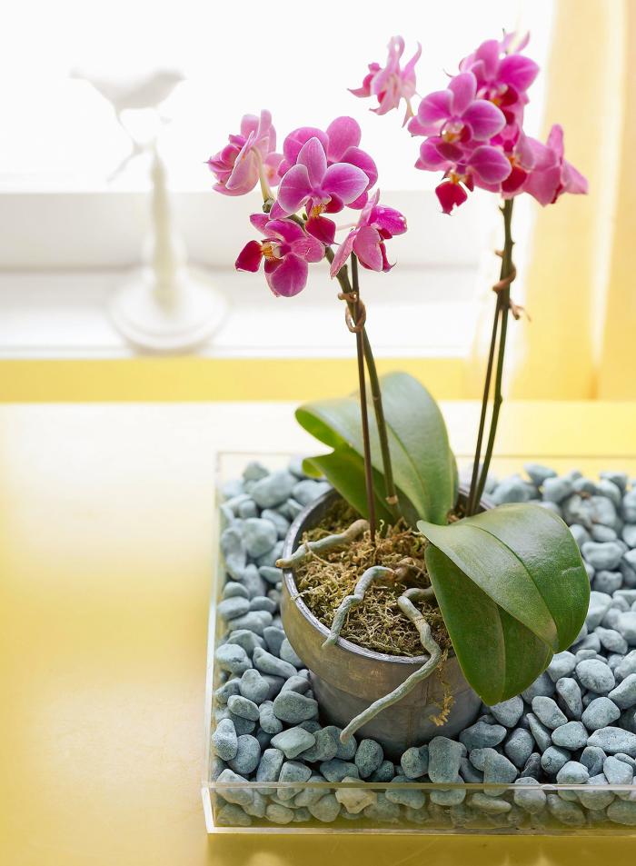 Orchideen richtig pflegen Luftwurzeln ragen aus dem Topf heraus nicht abschneiden