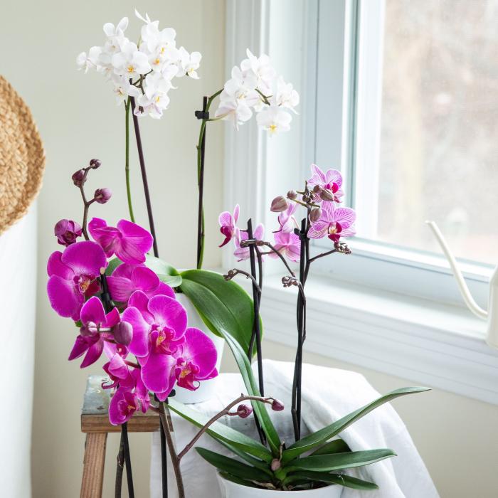 Orchideen richtig pflegen am sonnigen Standort nicht weit vom Fenster schöne Blüten in Violett und Weiß zwei Töpfe