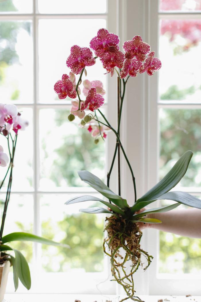 Orchideen richtig pflegen dringend umtopfen bei verfaulten Wurzeln