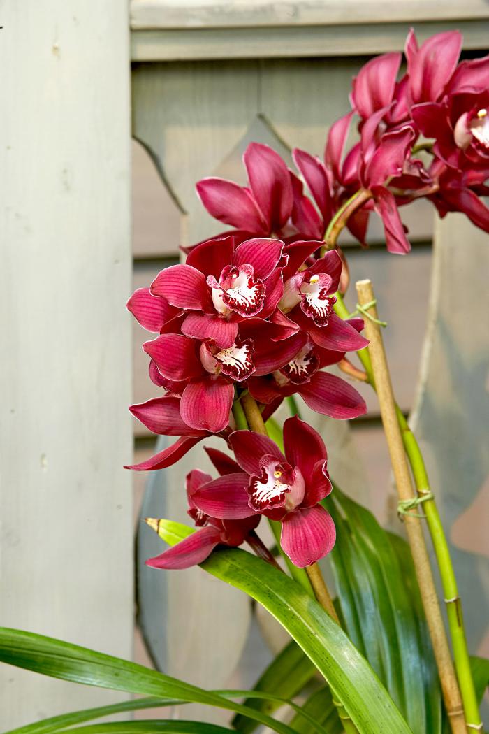 Orchideen richtig pflegen exotische Schönheit dunkelrote Blüten ein Genuss für Augen und Seele