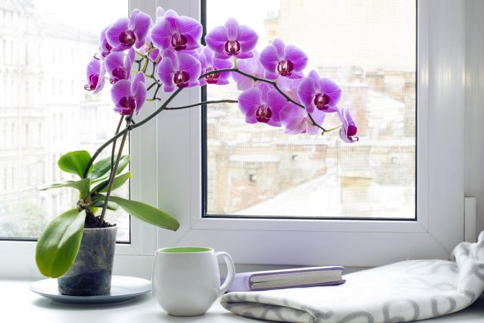 Orchideen richtig pflegen kalkarmes Wasser beim Gießen verwenden Pflanze am Fenster violette Blüten sehr attraktiv