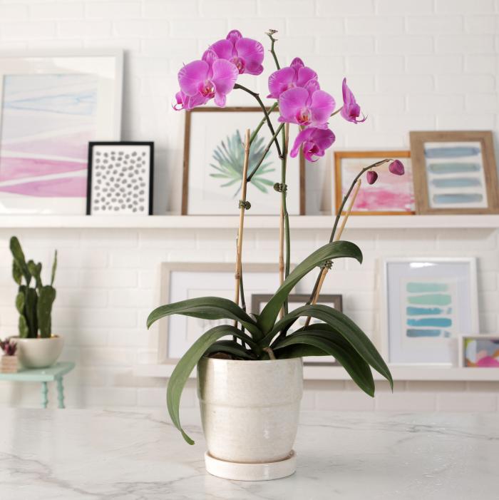 Orchideen richtig pflegen morgens gießen einmal die Woche attraktive Exotin im weißen Topf