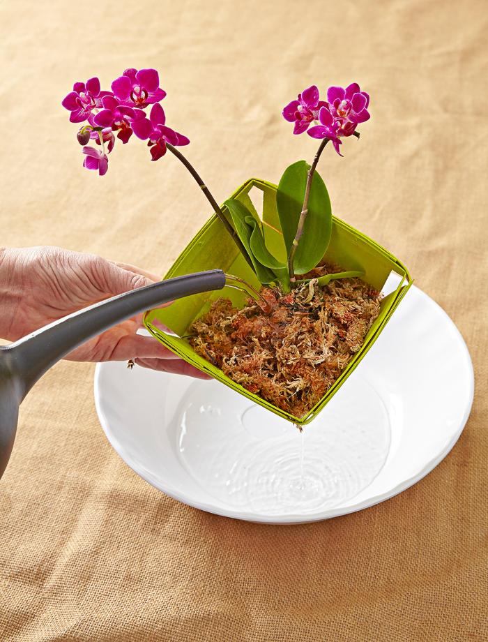Orchideen richtig pflegen richtiges Gießen das A und O der Orchideenpflege