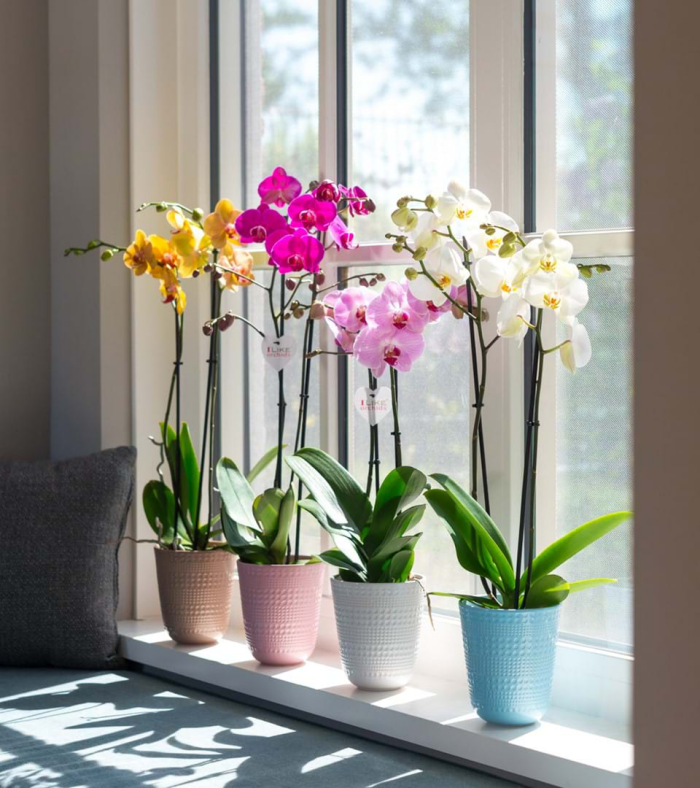 Orchideen richtig pflegen vier Orchideentöpfe am südlichen Fenster schöner Blickfang prächtige Blüten verschiedene Farben