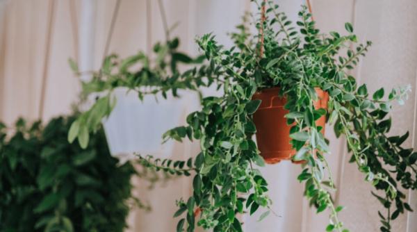Schamblume Blumenampel zu Hause grüne eiförmige Blätter lange Triebe keine Blüten