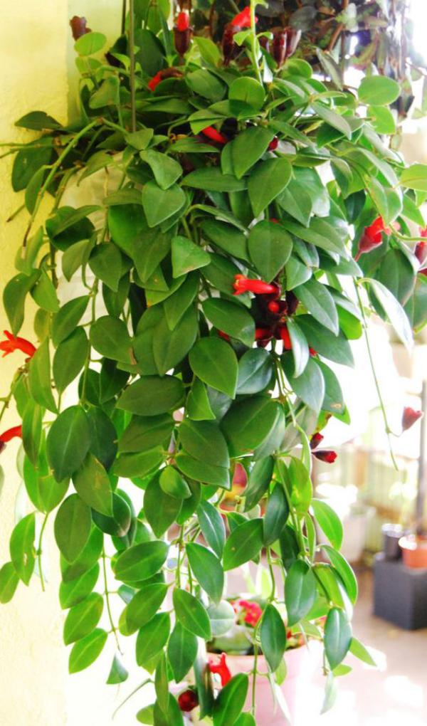 Schamblume Blumenampel zu Hause grüne eiförmige Blätter rote kelchförmige Blüten Hingucker