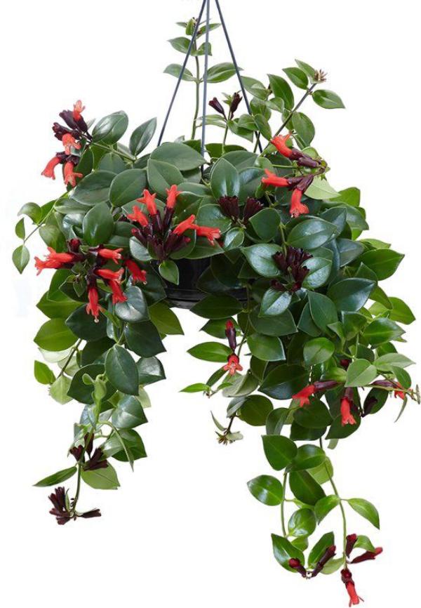Schamblume Blumenampel zu Hause grüne eiförmige Blätter rote kelchförmige Blüten einzelartige Blütenkaskaden
