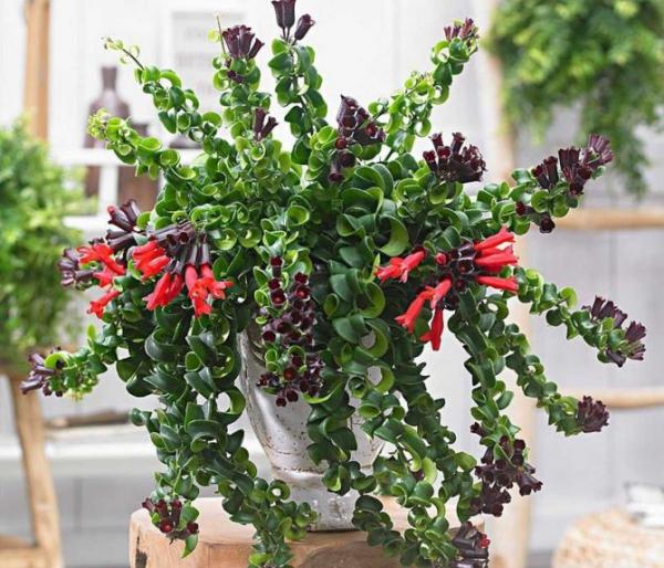 Schamblume Blumenampel zu Hause grüne eiförmige Blätter zarte rote Blüten einzelartige Blütenkaskaden