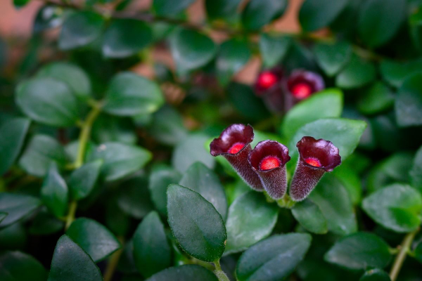 Schamblume Blumenampel zu Hause immergrüne eiförmige Blätter dunkelrote röhrenförmige Blüten leicht behaart