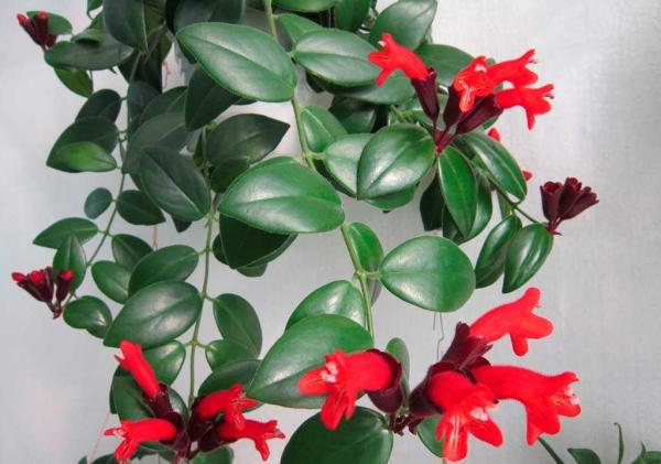 Schamblume Blumenampel zu Hause immergrüne eiförmige Blätter leicht behaart rote kelchförmige Blüten Hingucker
