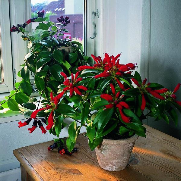 Schamblume Blumenampel zu Hause nicht weit vom Fenster platziert grüne eiförmige Blätter zarte rote Blüten