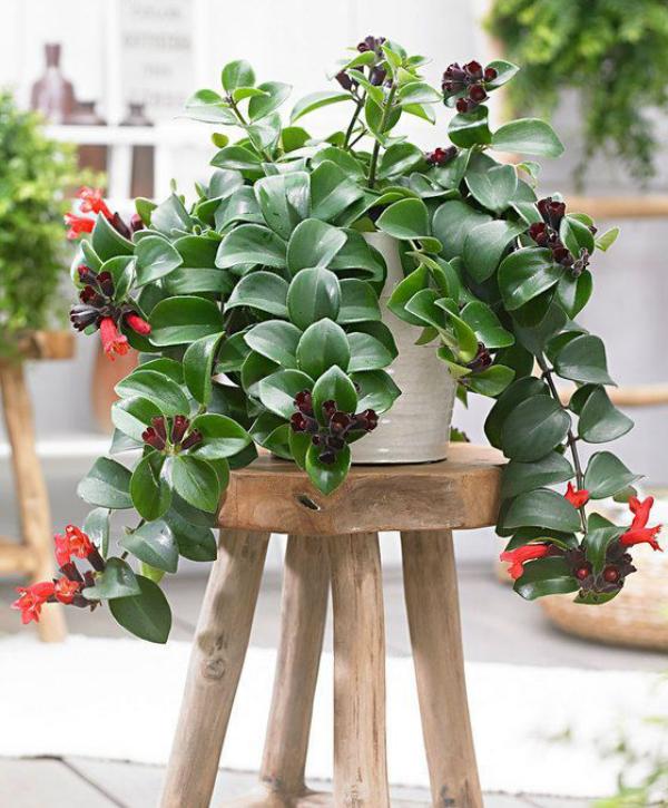 Schamblume zu Hause auf einem Holzhocker platziert einen ganzjährig warmen und sonnigen Standtort auswählen