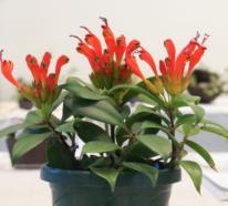 Die Schamblume beschert uns einzigartige Blütenkaskaden im Zimmer