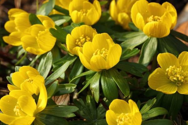 farbenfrohe und robuste Winterpflanzen Eisenhut