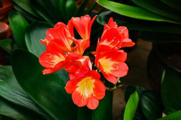 farbenfrohe und robuste Winterpflanzen Klivien