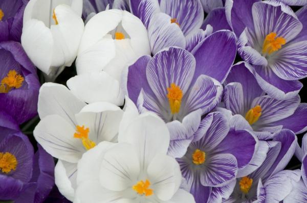 farbenfrohe und robuste Winterpflanzen Krokus