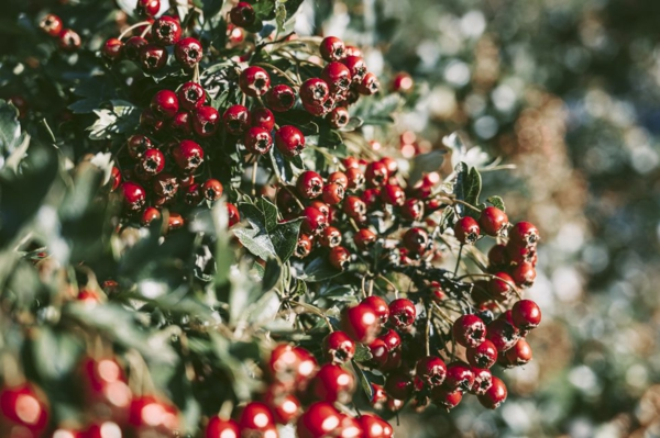 farbenfrohe und robuste Winterpflanzen Stechpalme
