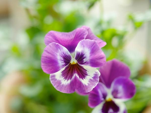 farbenfrohe und robuste Winterpflanzen Stiefmütterchen