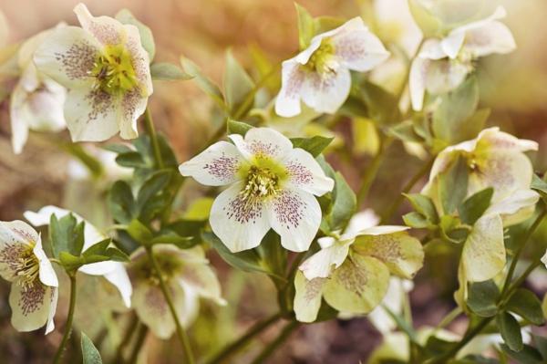 farbenfrohe und robuste Winterpflanzen Weihnachtsrose