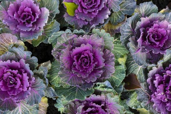 farbenfrohe und robuste Winterpflanzen Zierkohl und Grünkohl