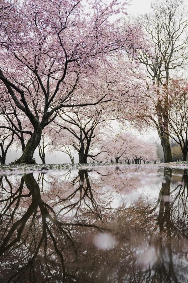 Februar ist der nationale Monat des Haiku Gedicht Schreibens kirschblüter sakura garten