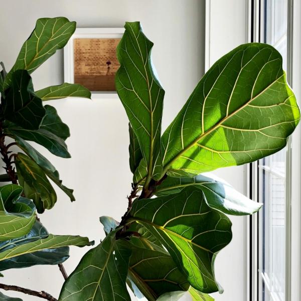 Geigenfeige Pflege Ficus Lyrata Blätter