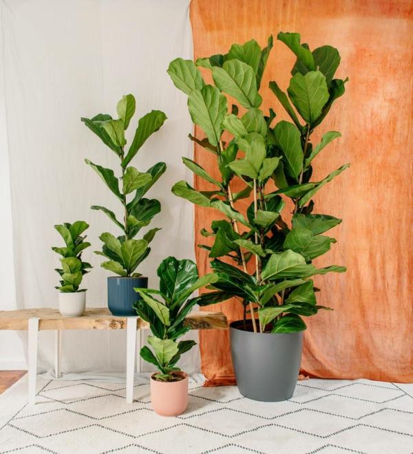 Geigenfeige Pflege Ficus Lyrata Topfpfnaze