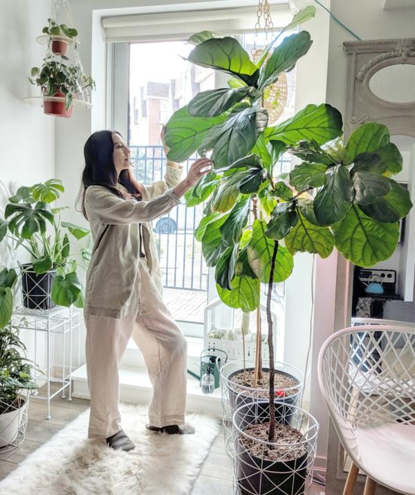 Geigenfeige Pflege Ficus Lyrata Zimmerbaum
