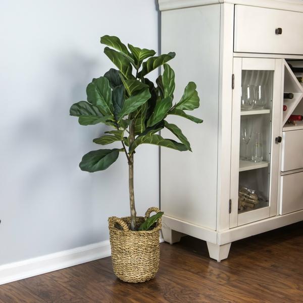 Geigenfeige Pflege Ficus Lyrata Zimmerpflanze