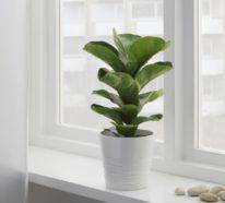 Geigenfeige Pflege und einige interessante Fakten über Ficus Lyrata