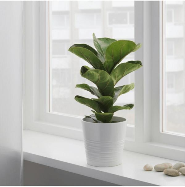 Geigenfeige Pflege Ficus Lyrata pflegeleichte Zimmerpflanzen Fensterbrett
