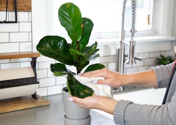 Geigenfeige Pflege Ficus Lyrata pflegeleichte Zimmerpflanzen Pflegeanweisungen