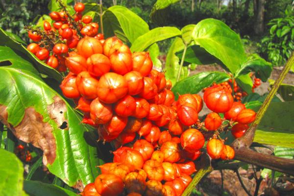 Guarana exotische Frucht im brasilianischen Regenwald seltsame Samen schonende Alternative zu Kaffee