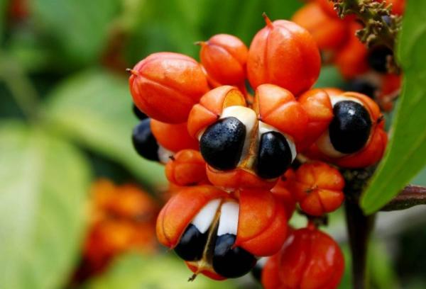 Guarana exotische Frucht seltsame Samen Alternative zu Kaffee Wachmacher Wirkungen Nebenwirkungen