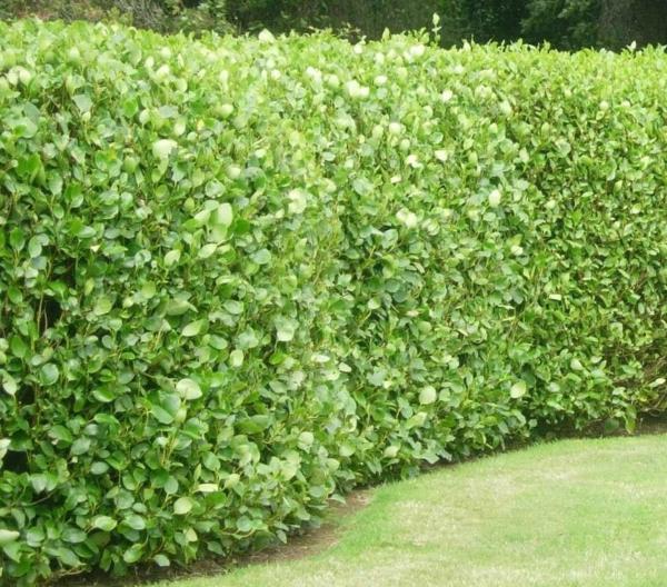 Immergrüne Heckenpflanzen Sichtschutz Ideen