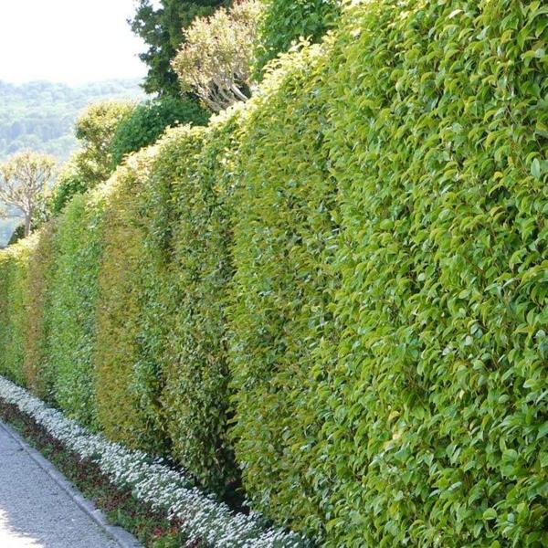 Immergrüne Heckenpflanzen Vorteile Sichtschutz Hecke
