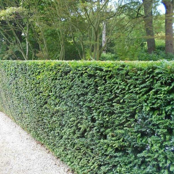 Immergrüne Heckenpflanzen Vorteile Sichtschutz Heckenalternativen