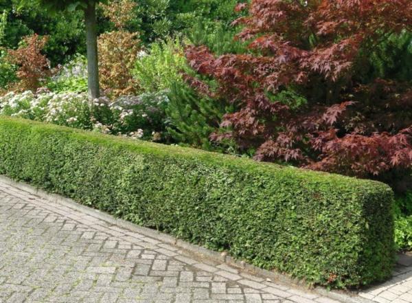 Immergrüne Heckenpflanzen Vorteile Sichtschutz Heckenarten