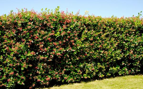 Immergrüne Heckenpflanzen Vorteile Sichtschutz Sonnenschutz