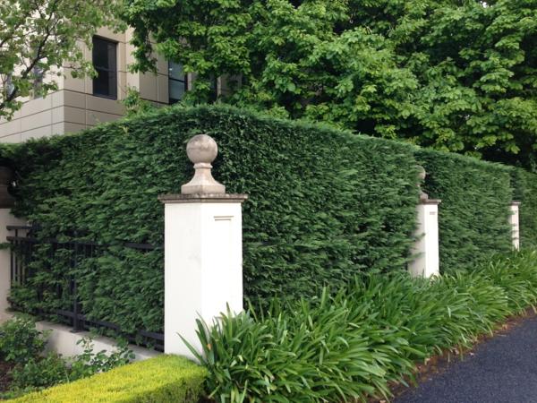 Immergrüne Heckenpflanzen Vorteile Sichtschutz Zaunideen