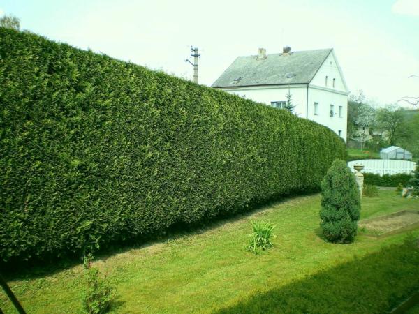 Immergrüne Heckenpflanzen Vorteile Sichtschutz