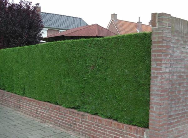 Immergrüne Heckenpflanzen Vorteile Zaun Sichtschutz