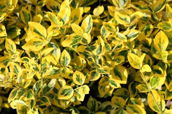 Immergrüne Heckenpflanzen Vorteile farbenfrohe Sichtschutz