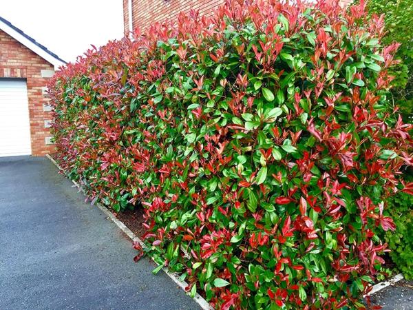 Immergrüne Heckenpflanzen Vorteile farbenfrohes Laub