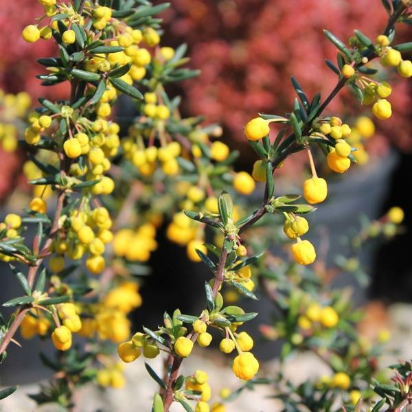 Immergrüne Heckenpflanzen Vorteile grüne Blüten