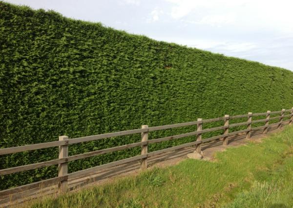 Immergrüne Heckenpflanzen Vorteile natürlicher Sichtschutz