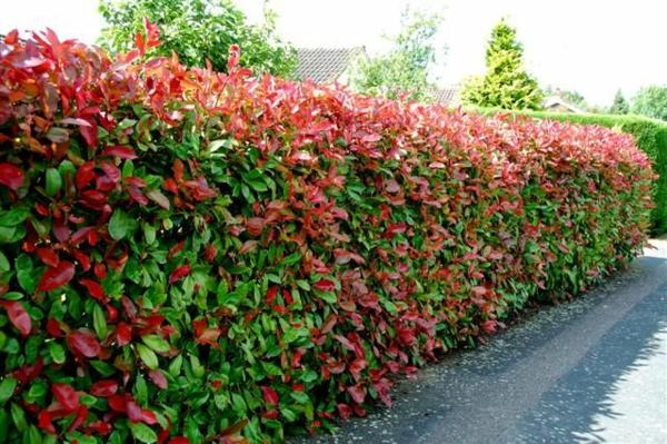 Immergrüne Heckenpflanzen Vorteile rote Blüten