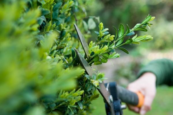 Immergrüne Heckenpflanzen pflegen