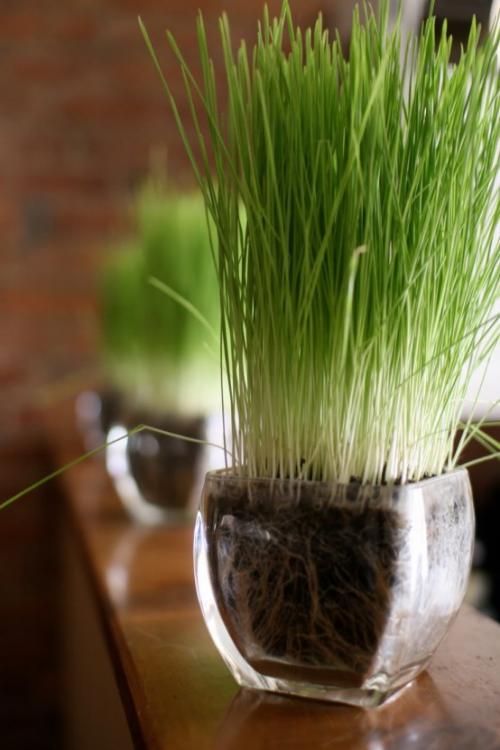 Ostergras selber säen Weizen-oder Gerstenkörner im Glasgefäß ziehen