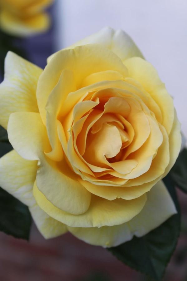 Rosenfarben und ihre Bedeutung – So treffen Sie die richtige Wahl für jeden Anlass gelbe rose schön